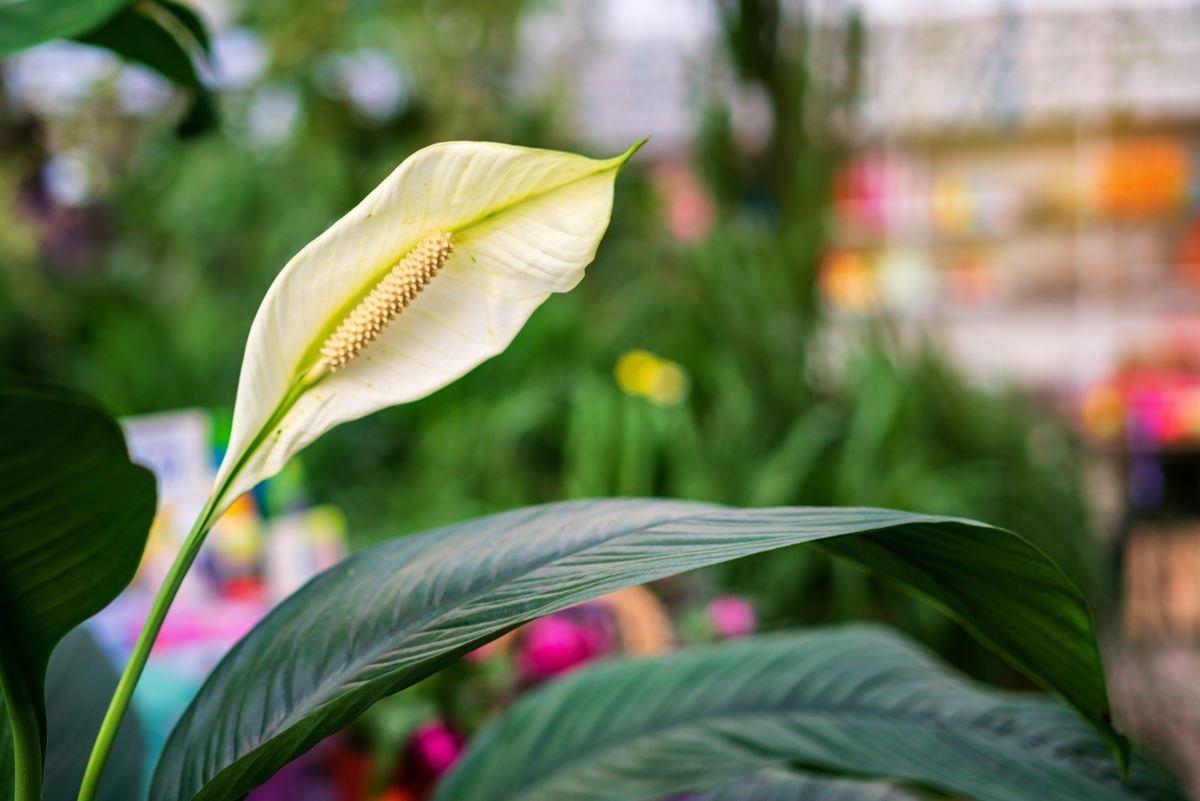 Kwiaty Domowe Trujace Kwitnace I Te O Mniejszych Wymaganiach Wnetrzekuchni Pl